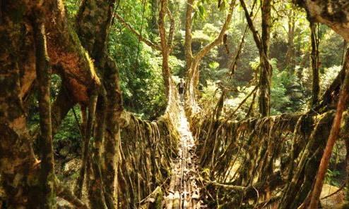 和伐木制造的建筑相比,这种经过塑形的树木在耐腐蚀方面的表现更为